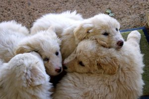 Maremma sheepdog, cute puppies