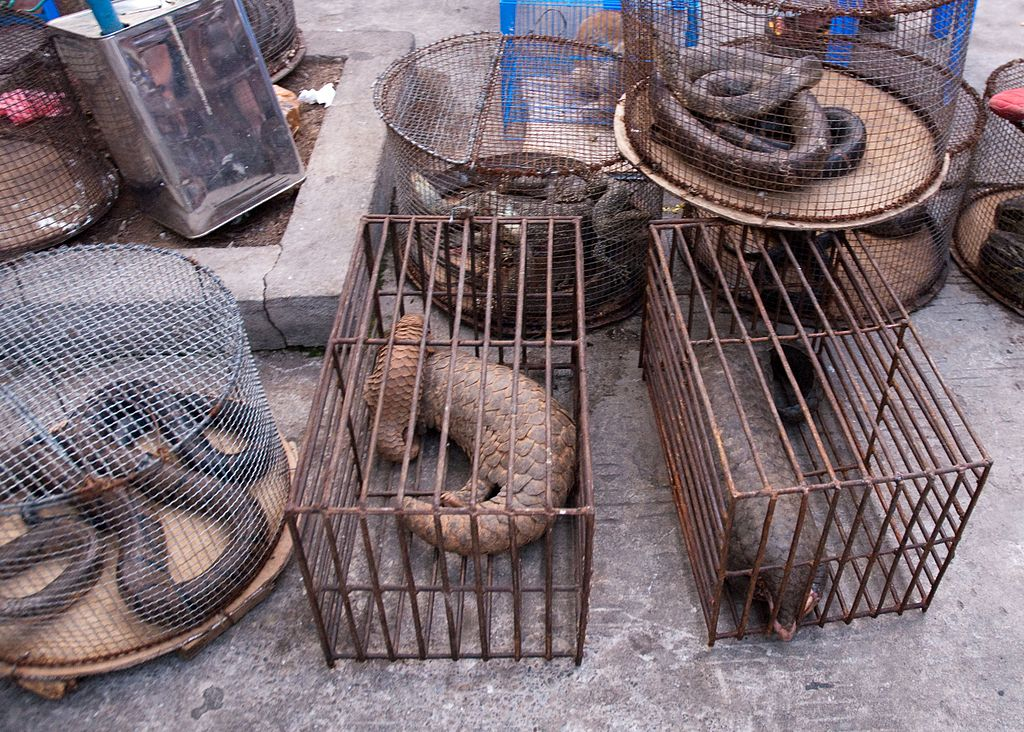 Pangolin trade before coronavirus pandemic